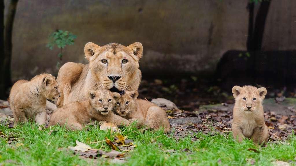 Sita et ses quatre lionceaux. © Guilhem de Lepinay/Parc zoologique et botanique de Mulhouse