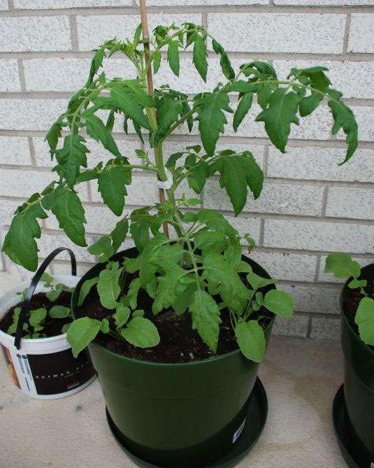 Jeune plant de tomate. Les variétés actuelles découleraient de la tomate cerise. © Blog story, Flickr, CC by-nc-sa 2.0