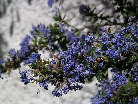 Le céanothe et sa floraison bleue. © Jean-Jacques Milan, Licence de documentation libre GNU, version 1.2