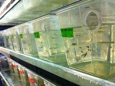 Les poissons-zèbres risquent de remplacer les souris dans les laboratoires de recherche sur le cancer et en ont déjà colonisé certains. © Patrick Gillooly