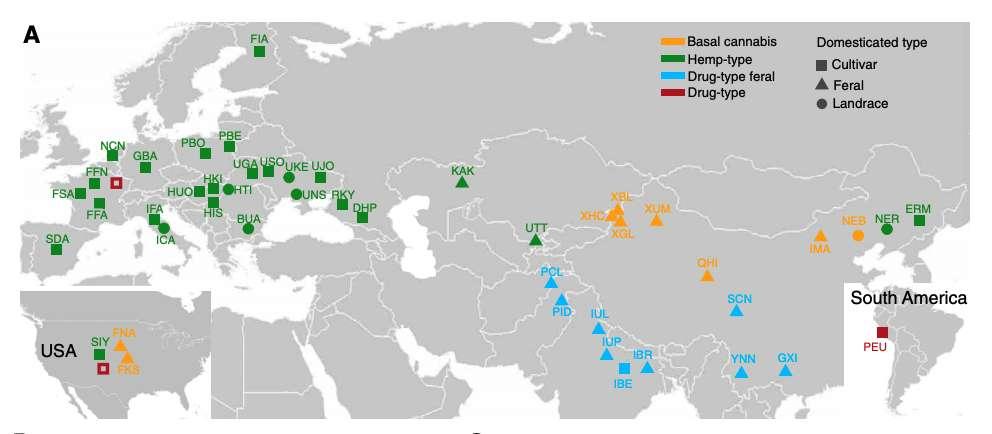 La carte des plants de C. sativa prélevés pour l'étude. En orange, le cannabis ancestral, en vert le chanvre, en bleu clair, le cannabis sauvage et en rouge, le cannabis cultivé. © Guangpeng Ren et al., Science Advances