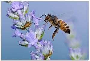 Une abeille butine. Pour une chenille, c'est une guêpe... © Albyper / Flickr - Licence Creative Common (by-nc-sa 2.0)