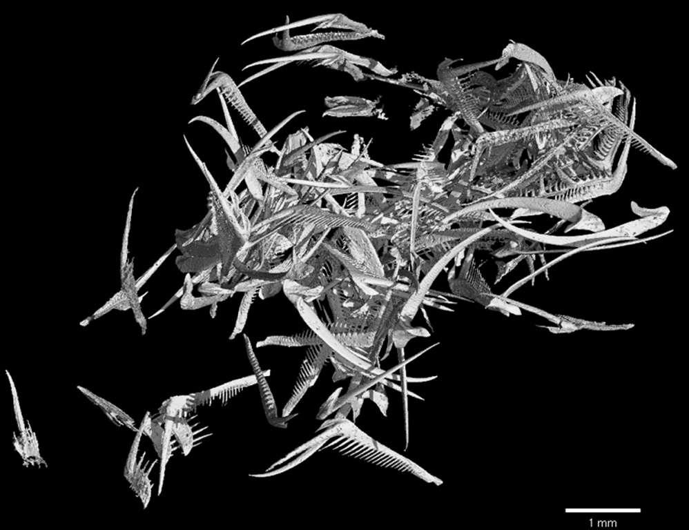 Reconstitution 3D des dents de la radula de Baculites sp. (AMNH 6653). © I. Kruta, MNHN
