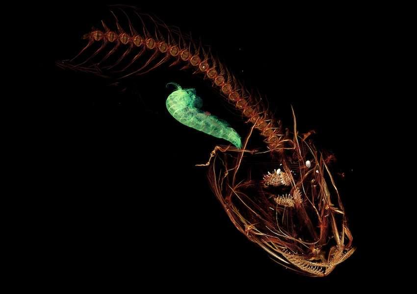 Pseudoliparis swirei vit à plus de 7.000 mètres de profondeur dans la fosse des Mariannes. © Mackenzie Gerringer, university of Washington, Schmidt Ocean Institute