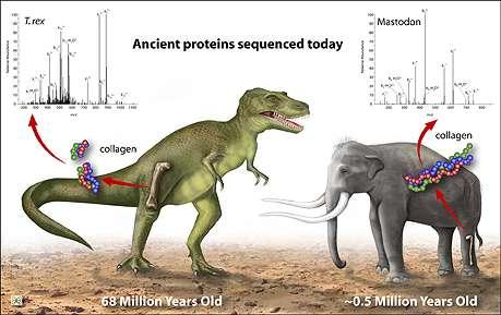 John Asara a analysé le collagène aussi bien d'un T-Rex que d'un Mastodonte, un ancêtre de l'éléphant. © Zina Deretsky, National Science Foundation