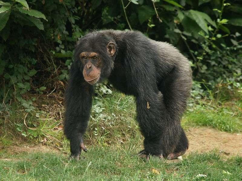 Chimpanzé mâle. © Hans Hillewaert, CC by SA 3.0