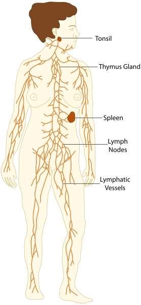 Description du système lymphatique. Au sommet, on trouve les amygdales (tonsil), puis le thymus (thymus gland) en haut du torse. Enfin, plus bas, on trouve la rate (spleen). Tous ces organes sont reliés par les vaisseaux lymphatiques (lymphatic vessels), formant des nœuds (lymph nodes). © The Emirr, Wikimedia Commons, CC by 3.0