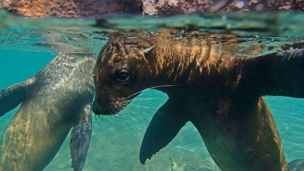Deux otaries des Galápagos