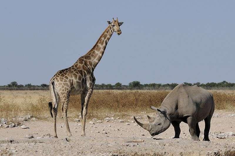 Rencontre entre une girafe et un rhinocéros dans le parc d'Etosha, en Namibie. © Wikipédia, Hans Stieglitz, CC by-sa 3.0