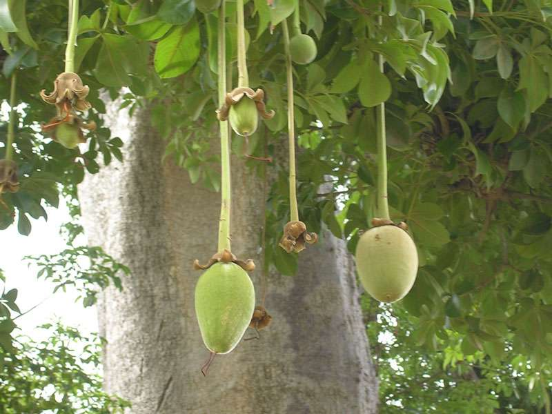 Des fruits de baobab comestibles