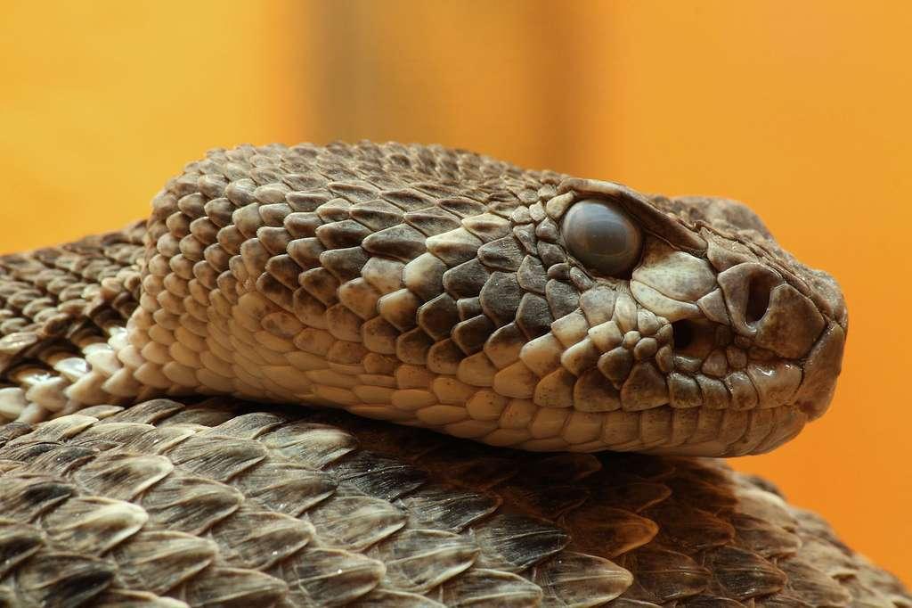 Le crotale diamantin de l'Ouest ou Western Diamondback Rattlesnake, Crotalus atrox. © H. Krisp 75 - cc by nc 3.0