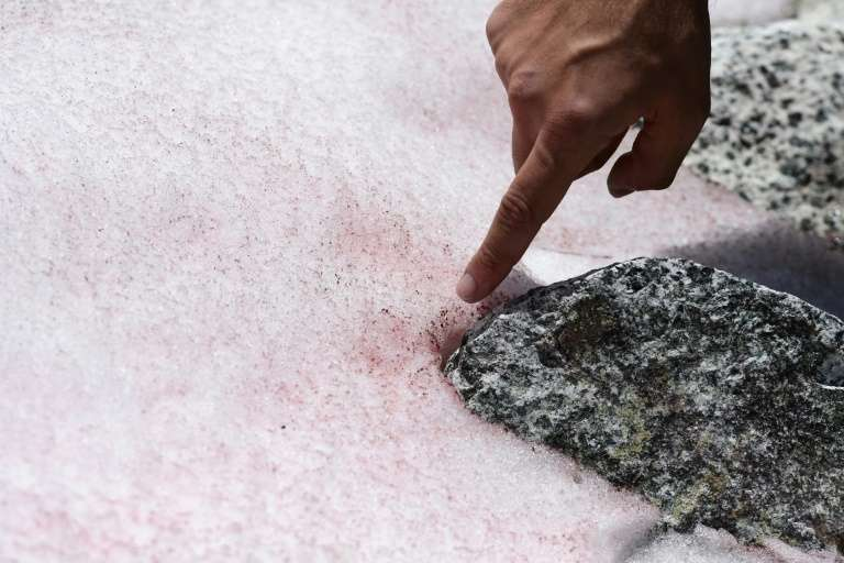 Biagio di Maio, chercheur au Centre de recherche national, montre la neige rose au sommet du glacier Presena, près de Pellizzano, dans les Alpes italiennes le 4 juillet 2020. © Miguel Medina , AFP