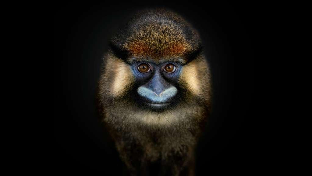 Le Moustac, un primate moustachu