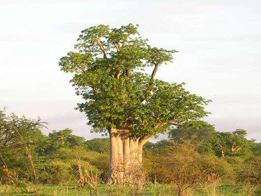 Baobab dans la réserve de Bandia (Sénégal). La couverture végétale arbustive dense et l'accès restreint à cette partie de la forêt permettent un développement normal des baobabs. © S. Garnaud - Reproduction et utilisation interdites
