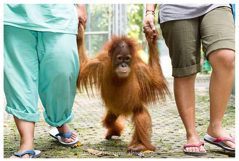 L'école de la seconde chance pour ce jeune orang-outan. © Maxime Aliaga, tous droits réservés