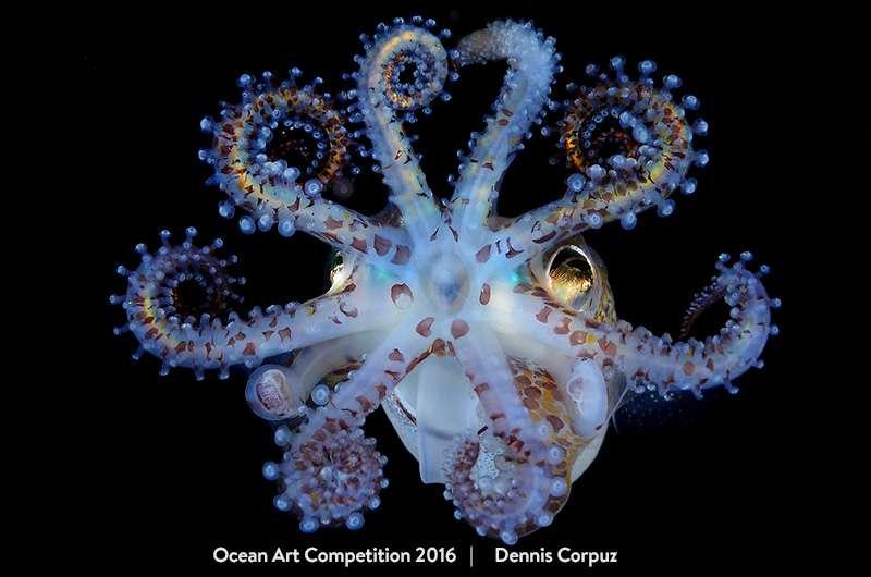 Sur cette photo intitulée « Amazing Squid », on peut admirer en gros plan une sépiole qui nous tend les bras, ou plutôt ses huit plus grosses tentacules (elle en a deux de plus, très fines, préhensiles et peu visibles ici). © Dennis Corpuz, Ocean Art Underwater Photo Competition
