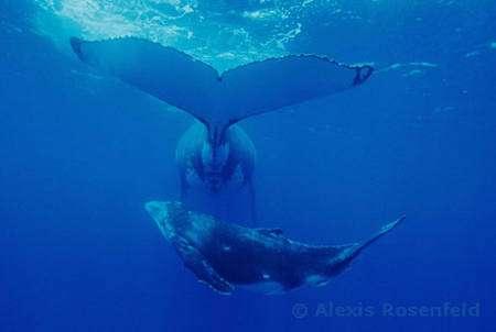Baleine à bosse (Polynesie francaise, île de Rurutu - Megaptera novaeangliae), Mère et son petit. Pendant toute la première année de sa vie le baleineau et sa mère restent absolument inséparables : elle fait preuve d'une attention constante, depuis le jour de sa naissance, elle doit aider son petit à regagner la surface pour sa premiere respiration. Jusqu'à ce que le baleineau soit sevré, elle le nourrit, le guide, le surveille sans relâche. Et si elle l'autorise à nous rejoindre en surface pour une serie de cabrioles, il doit sans tarder la rejoindre dès qu'elle a decidé de reprendre sa route. Les baleiniers profitaient autrefois de cet attachement sans faille : ils capturaient d'abord le petit, et la mère incapable d'abandonner son baleineau se laissait attraper sans même chercher à s'echapper. © Alexis Rosenfeld, Tous droits réservés
