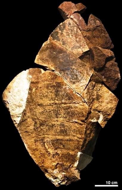 Un fragment du fossile d'anomalocaride décrit dans Nature. © Peter Van Roy