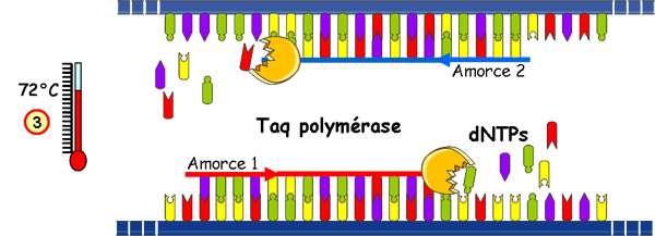 Troisième étape du cycle PCR, l'élongation. La Taq polymérase symbolisée par le rond orange synthétise le brin complémentaire en utilisant les désoxyribonucléotides (dNTPS). © Université de Strasbourg