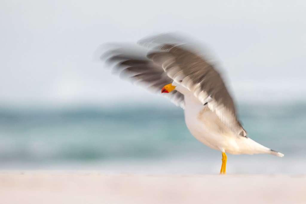 Goéland austral (Larus pacificus). © Bird Photographer of the Year, Georgina Steytler (Australie)