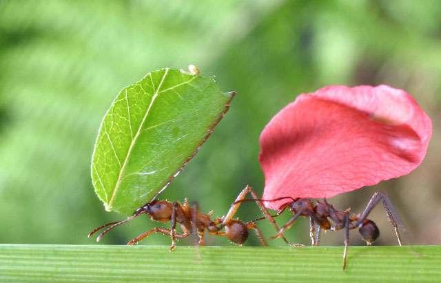 Les ouvrières des fourmis champignonnistes ramènent vers le nid des fragments de végétaux qui constitueront le jardin sur lequel elles feront pousser un champignon symbiotique. © D. Stoffel