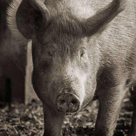 La concentration de porcs génère une concentration de pollution, sous forme de lisier, dans les élevages industriels. © Keith Marshall CC by-nc-sa