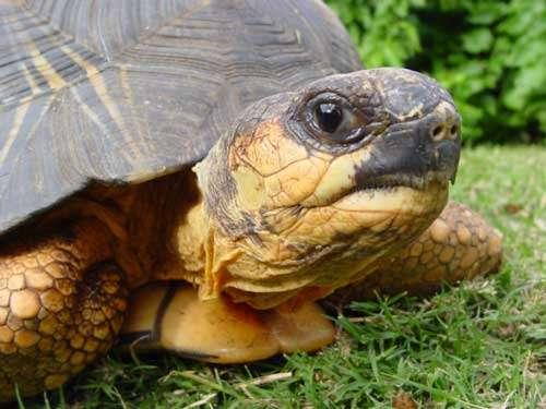 La tortue étoilée, une espèce endémique de Madagascar à protéger. © Philippe Mespoulhé - Tous droits de reproduction interdit