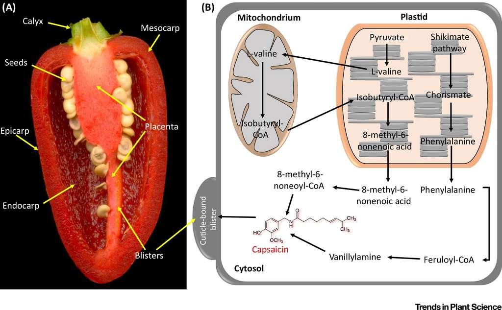 La voie de biosynthèse simplifiée de la capsaïcinoïde dans le piment. © Emmanuel Rezende Naves et al, Trends in Plant Science, 2019