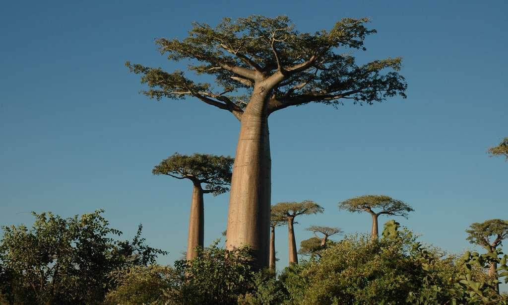 Baobabs Adansonia, ou Renala, ce qui signifie « mère de la forêt » à Madagascar. Ils peuvent vivre très vieux et mesurer 40 mètres de haut. Ceux-ci ont été photographiés près de Morondava. © Antoine