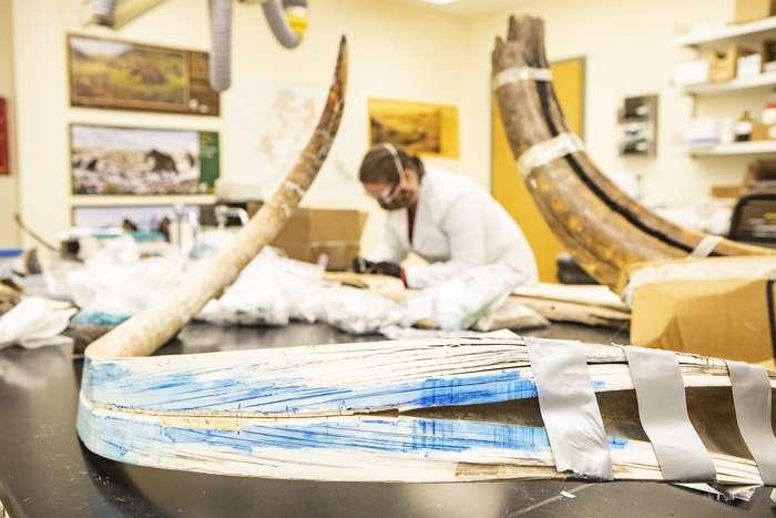 La défense du mammouth laineux a été coupée en deux dans le sens de la longueur pour accéder aux détails de la vie du spécimen. © JR Ancheta, University of Alaska Fairbanks