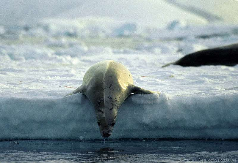 Phoque se mettant à l'eau. © Jerzy Strzelecki, GNU FDL Version 1.2