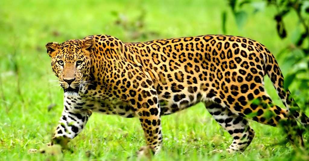 Le léopard tout un symbole. © Srikaanth Sekar, Wikimedia commons, CC by-sa 2.0