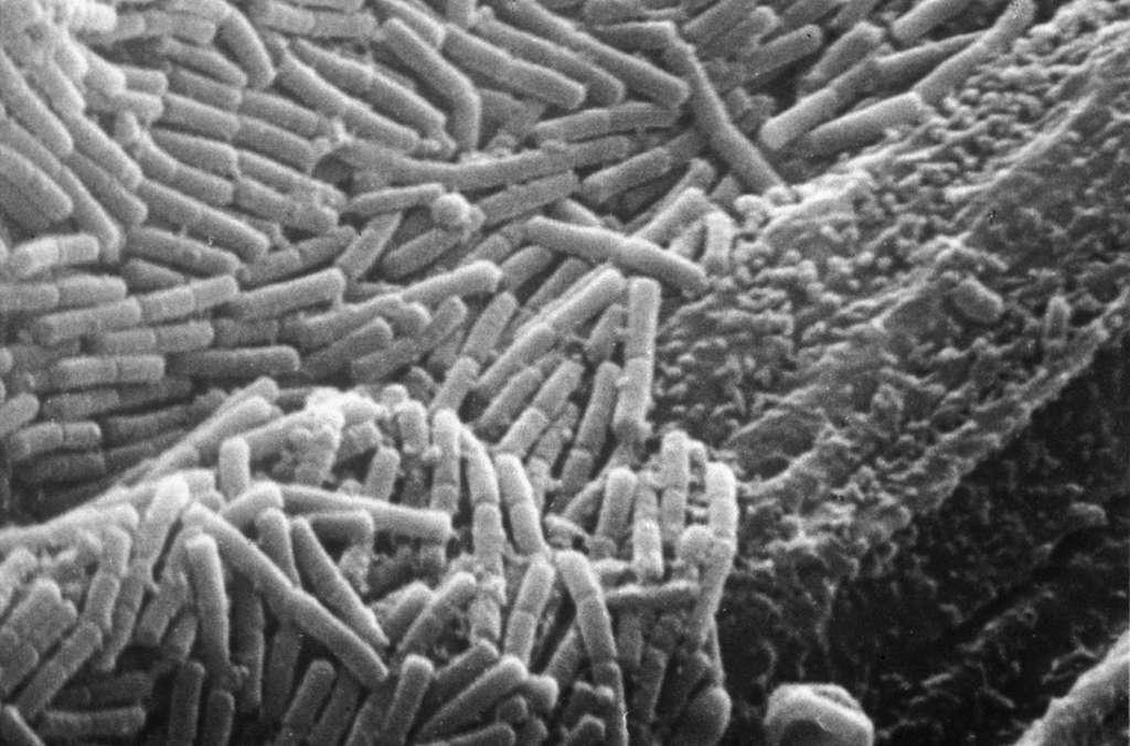 Bactéries adhérentes à la paroi du rumen. Nombre d'entre elles sont rejetées dans les excréments. La plupart ne sont pas pathogènes pour l'Homme. © Brigitte Gaillard-Martinie/Inra