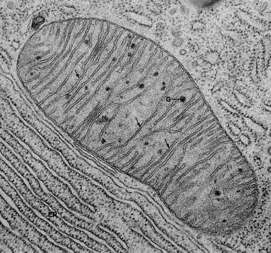 Les mitochondries (l'une est vue ici au microscope électronique à transmission), réservoir d'énergie de la cellule, s'accumulent autour de l'algue intracellulaire pour capter directement les sucres. Crédits DR