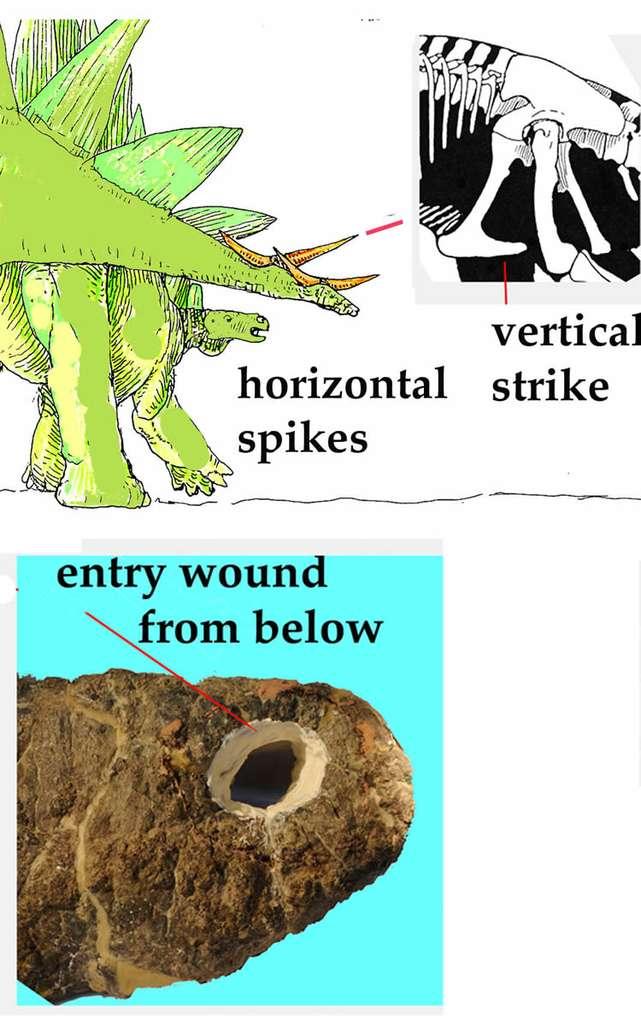 Ce fossile de pubis d'Allosaurus porte sur sa face inférieure la marque d'une blessure (wound). Elle est cônique et correspond à la forme et à la taille d'une épine osseuse (spike) de Stegosaurus vivant à la même époque et dans la même région. Comme le montre le schéma, un stégosaure a donc utilisé sa queue pour frapper très habilement de bas en haut un allosaure qui le menaçait, le blessant mortellement. © Robert Bakker