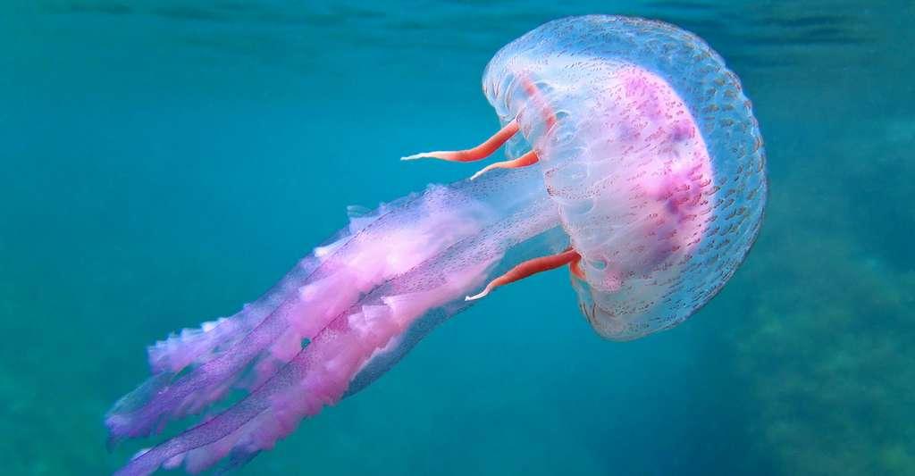 Pelagia noctiluca est une petite méduse dangereuse, présente notamment en Méditerranée. © Vilainecrevette, Shutterstock
