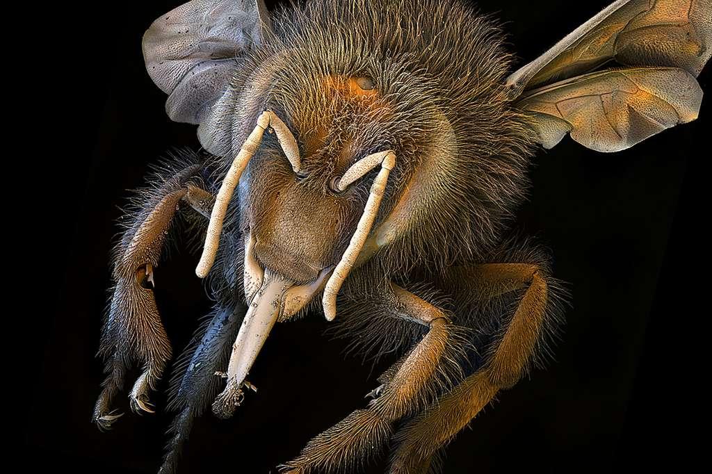 Zoom sur une abeille mellifère