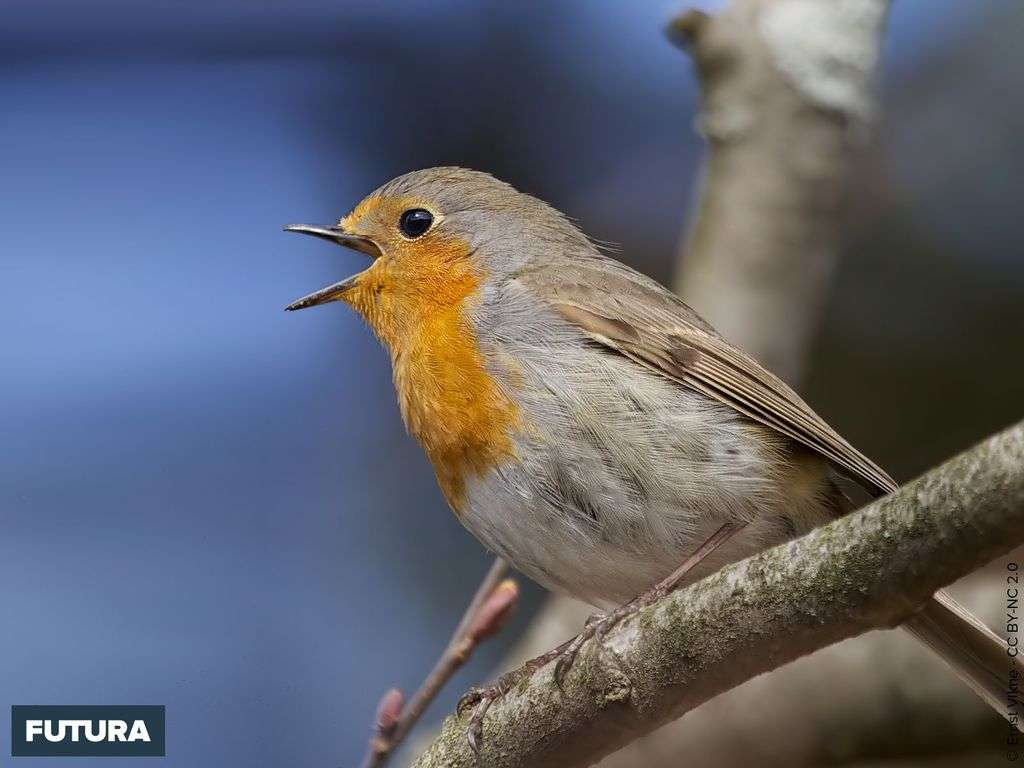 Rouge-gorge - European Robin
