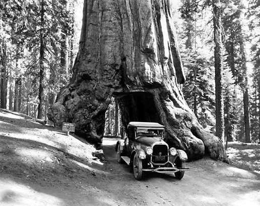 Le tronc de ce sequoia a été creusé en tunnel en 1881 pour attirer les touristes. © AaronY, Wikipedia