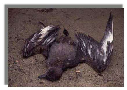 Labbe skua mort à cause de la pollution aux hydrocarbures - littoral85.com ©2003