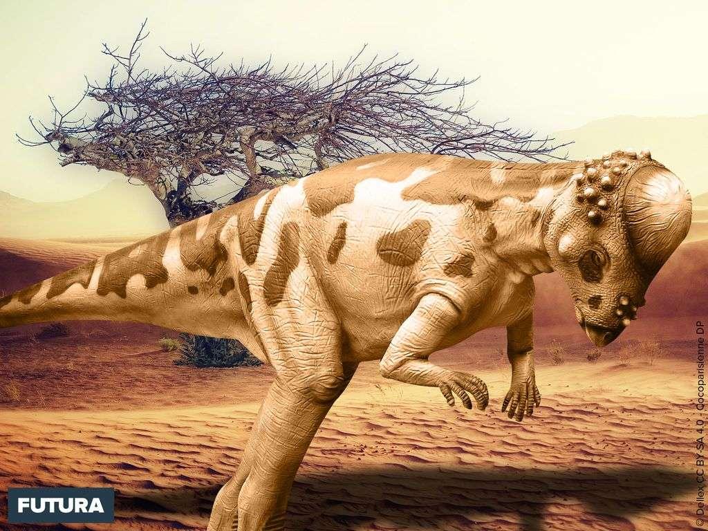 Pachycephalosaurus « lézard au crâne épais » a vécut au Crétacé supérieur