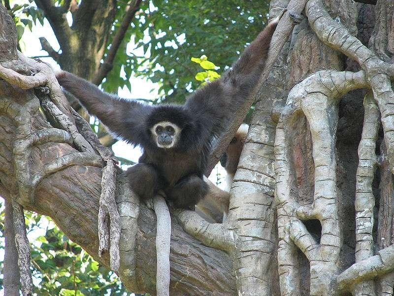 Gibbon à mains blanches (Hylobates lar) dans un arbre. © Trhiha Shears, CC by 2.5