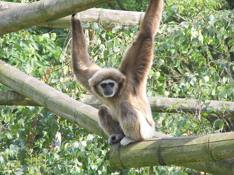 Gibbon lar. © Matthias Trautsch, GNU FDL Version 1.2