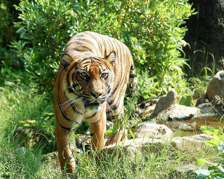Tigre de Sumatra. © Dick Mudde, Wikipédia, domaine public