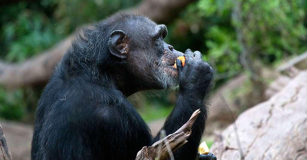 Chimpanzé en pleine dégustation. © Jenny, CC BY-NC 2.0