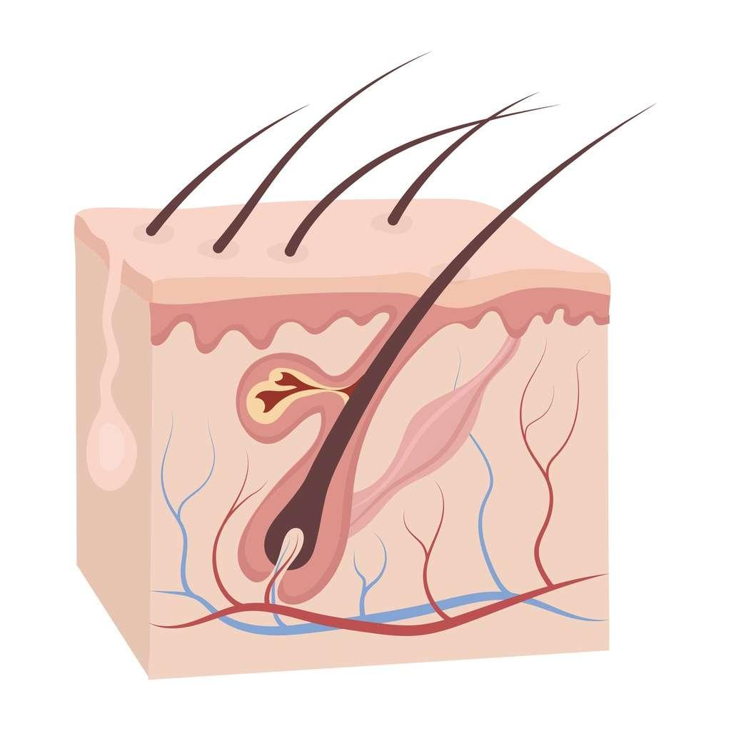 À la base du poil (ou du cheveu), dans le bulbe pileux, se trouve la zone de croissance du poil. © pandavector, Fotolia