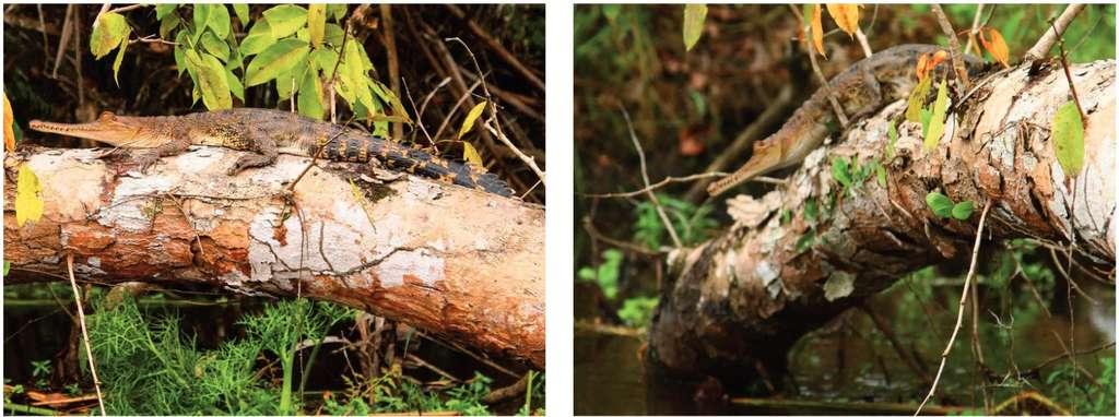 Un crocodile africain (Mecistops cataphractus) juvénile, d'environ 70 cm de longueur, se prélasse sur une branche dans le parc national de Loango, au Gabon. © Vladimir Dinets et al.