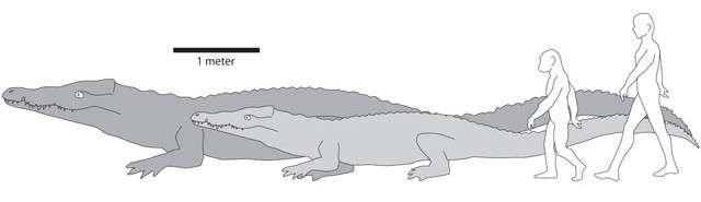 Crocodylus thorbjarnarsoni (gris foncé) était bien plus grand que les crocodiles actuels (par exemple Crocodylus niloticus ; gris clair). Par comparaison, nos ancêtres de l'époque, bien plus petits que nous, ne faisaient pas le poids. La barre d'échelle représente un mètre. © Christopher Brochu
