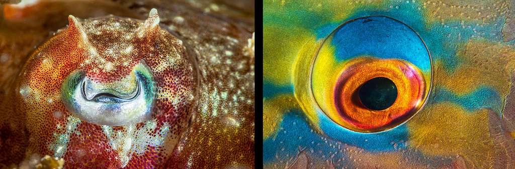À gauche, focus sur l'œil d'une seiche et à droite, focus sur un œil de poisson-perroquet (Papagaio vulgar). © Gabriel Barathieu, tous droits réservés