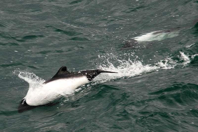 Vrille d'un dauphin de Commerson. © Mirko Thiessen, CCA-SA 2.5 Generic license